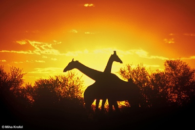 silhouette of two giraffes
